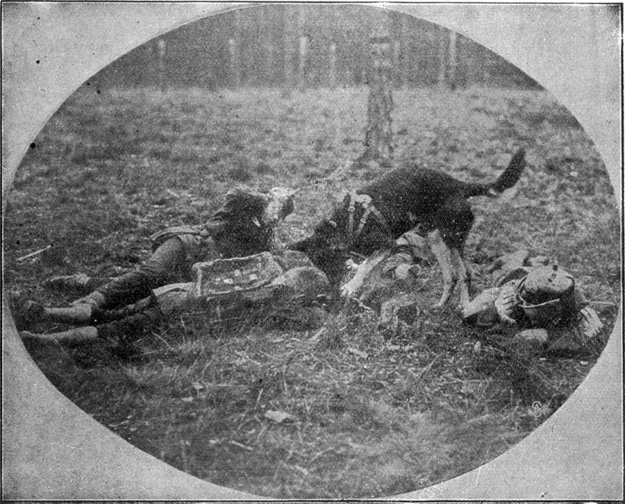 Pes v službi Rdečega križa pri iskanju težko ranjenih na francoskem bojišču.